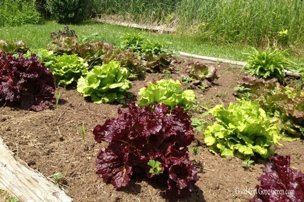 Project Green Foot- Organic Lettuce