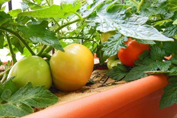 Growing Tomatoes:Good Girl Gone Green