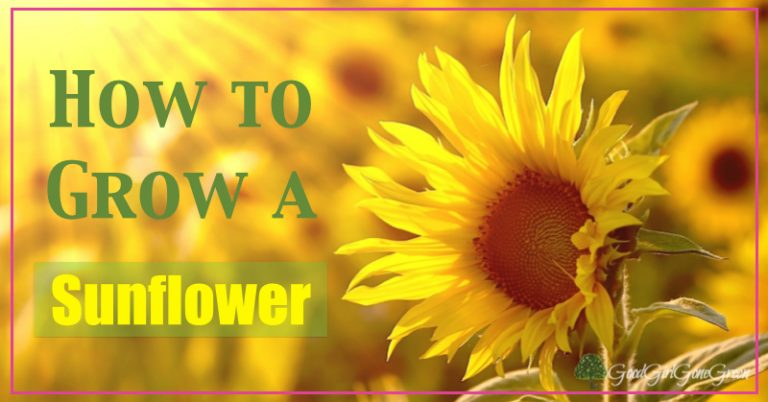 How to Grow a Sunflower GoodGirlGoneGreen.com