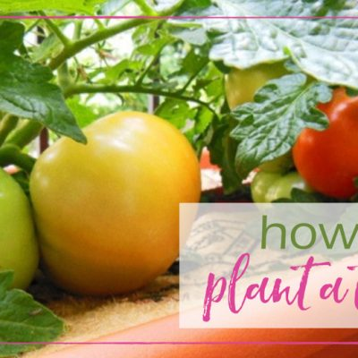 How to Plant a Tomato