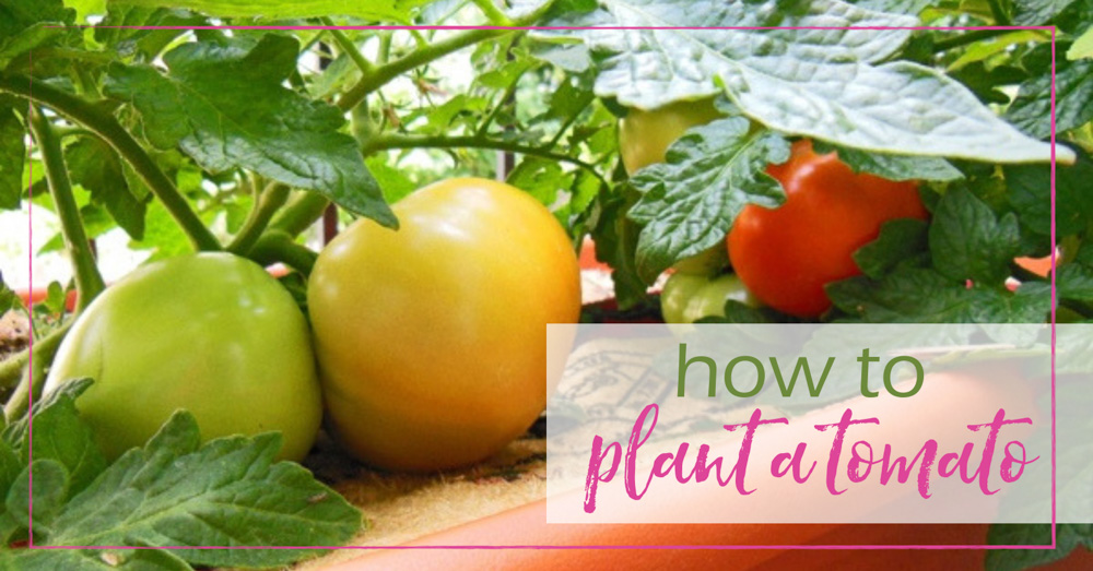 How to Plant a Tomato - GoodGirlGoneGreen