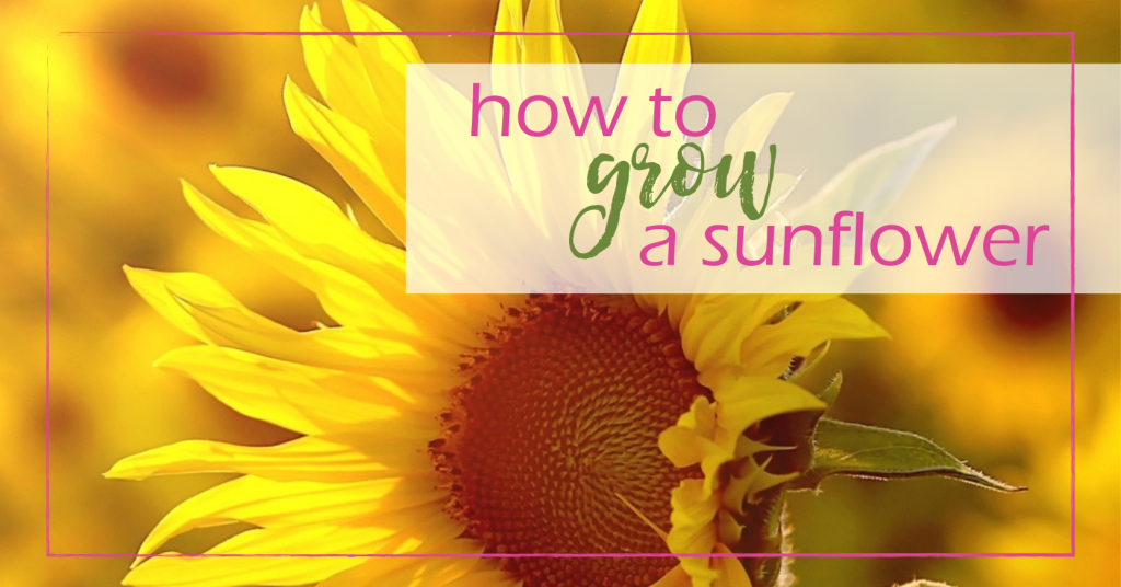 How to Grow a Sunflower | GoodGirlGoneGreen.com